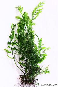 Live Aquarium Plants  / Bolbitis Heudelotii / African Water Fern / Very easy