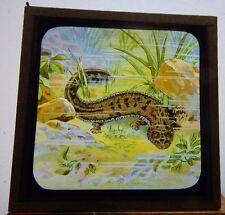 Antique glass  Magic Lantern Slide Nature Giant Salamander  Slide 20