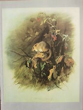 VINTAGE NATURAL HISTORY PRINT ~ DORMOUSE
