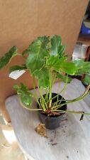 "Philodendron 'Xanadu' (Philodendron hybrid) - 1 Starter - 8"" Tall - 3"" Pot"