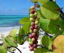 Coccoloba uvifera 10+ Seeds Sea Grape Organic