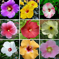 100 PCS Seeds Hibiscus Bonsai Mix Color Flowers Perennial Potted Garden 2019 New
