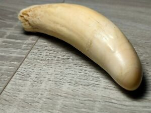 replica sperm whale tooth, made of plastic higt copy
