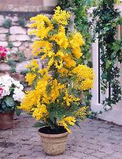 Silberakazie 25 Samen / Pack - Falsche Mimose - Acacia dealbata / Silber-Akazie