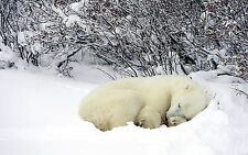 Framed Print - Alaskan Polar Bear Sleeping in the Snow (Picture Poster Animal)