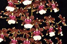 Oncidium Aka Baby 'Raspberry Chocolate' HCC/AOS Fragrant Onc. Sharry Baby Hybrid