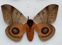 SATURNIIDAE - silkmoth - Augenspinner - AUTOMERIS CORESUS   -  female