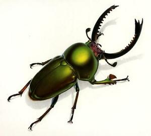 Durin STAG BEETLE Litho OUTSTANDING COLOR! L@@K!