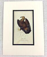 1841 Antico Uccello Stampa Golden Aquila Hawk Ornitologia Mano Colorato Inciso