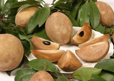 Manilkara sapota chiku rare exotic sweet fruit good to eat edible seed 5 SEEDS