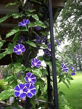 Japanese Morning Glory-Maisugata Picotee-Blue & White Blooms-10 seeds from 2016