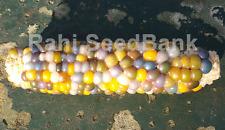 Corn Calico Joy - A Rare, Stunning Multicoloured Corn Variety!!!