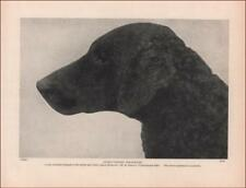Curly Coated Retriever, Coombehurst Ella, vintage print authentic 1935