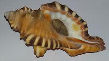 Conchiglia Shell  CYMATIUM PERRYI   mm 113  Opercolato   Madras  ( India )