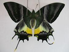 PA3108. Unmounted butterflies: Teinopalpus imperialis.Central Vietnam.Over 2000m