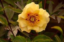 """1x Paeonia Rose """" ROMAN GOLD """"  Tree Peony ( Peonies /Paeonie ) peonie RARE"""