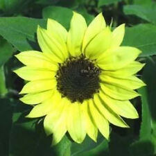 25 Valentine Sunflower Helianthus Annuus Flower Seeds *Comb S/H + Free Gift