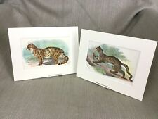 Antique Wild Animal Cat Prints Clouded Leopard Marbled Cats Ca. 1896