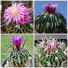10 semi di Echinofossulocactus obvalatus ,piante grasse,seeds cactus