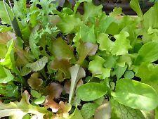 Salade à couper - Mesclun - 10 varietés - Multisaisons