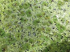 Duckweed + Azolla Mixed - Pond & Aquarium Plants ***BUY 3 GET 1 FREE***