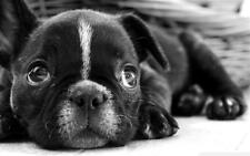 ART PICTURE, FRENCHY BULLDOG, BOSTON TERRIER, DIGITAL PICTURE