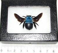 REAL FRAMED BLUE CARPENTER BEE BUMBLEBEE XYLOCOPA CAERULEA INDONESIA