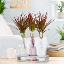 Dracaena Marginata Indoor Houseplant Dragon Tree Home Office Plant in 13cm Pot