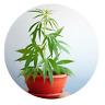Nutzhanf Samen / Sativa / Angelhanf / Futtermittel / Öl-Gewinnung / 50 Stück / o