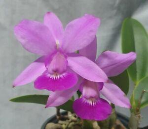 OA Orchid Cattleya walkeriana IN FLOWER