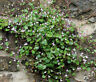 KENILWORTH IVY Cymbalaria Muralis - 500 Bulk Seeds