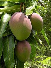 MANGO SEED POWDER-Mangifera Indica-AMBA-Aam-SKIN CARE-Ayurvedic-Organic 100 gs