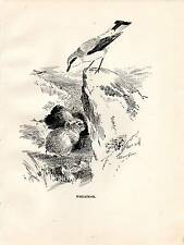 1923 BIRD PRINT ~ WHEATEAR ~ ROLAND GREEN