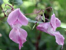 Impatiens iMulti-Potency Bach Flower Essence Remedy 15 ml- Patience Peace & Calm