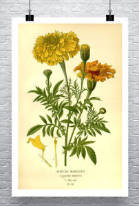 African Marigold Flower Illustration Fine Art Giclee Print Canvas or Paper