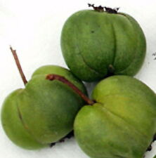 "Hardy Chang Bai Kiwi Plant - Actinidia - Female - Large Fruit - 2.5"" Pot"