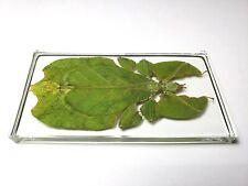 PHYLLIUM BIOCULATUM PULCHRIFOLIUM. Gray's leaf insect immortalized in resin.
