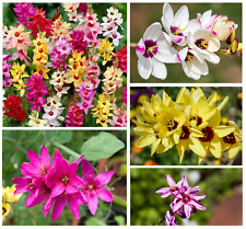 More details for 20 x ixia mixed bulbs spring summer flowering african corn lily perennial garden
