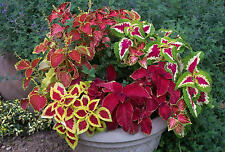 0.1g (approx. 350) flower coleus seeds  Wizard Mix, the best for bedding, Bright