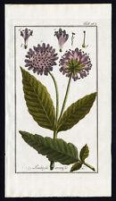 Antique Botanical Print-SCABIOSA-KNAUTIA ARVENSIS-FIELD SCABIOUS-Zorn-1796