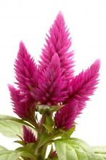 30+ Pink Flamingo Celosia Flower Seeds / Self-Seeding Annual