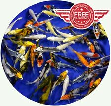 """100 Lot Assorted 2""""-4"""" Standard Live Koi for Pond Fish FREE OVERNIGHT SHIPPING"""