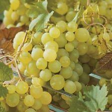 Large White Green Grape Vine Plant Polo Muscat 3L Pot Soft Fruit Indoor Climbing