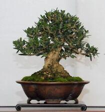 """10 SEMI DI olivo """"ulivo """"Olea europaea L"""" semi per bonsai"""