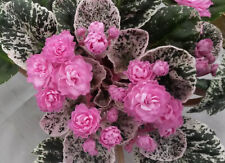 African violet Rose Bouquet live plant in pot