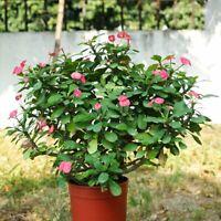 100Pcs Euphorbia Milii Flower Seeds Rare 5 Kind Bonsai Perennial Plant For Home