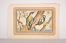 PIC VERT-PIC EPEICHE, ornithologie, illustration v 1920, OISEAUX DES BOIS