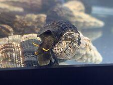 Yellow Antenna Adult Rabbit Snail Live Aquarium Sulawesi Tylomelania Freshwater