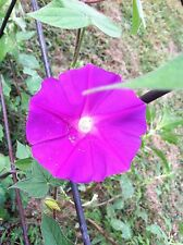 Japanese Morning Glory-Akatsuki no Beni-Big Beautiful Blooms-8 Seeds-Limited