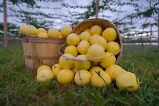 Yellow Passion Fruit - Fresh Sweet Good Smell -5lbs (about 25-28 counts)